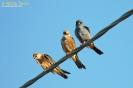 Falco cuculo Falco vespertinus
