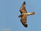 Falco della regina Falco eleonorae