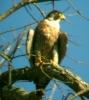 Falco pellegrino (Foto: Mimmo Bevacqua)