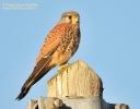 Gheppio Falco tinnunculus