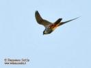 Lodolaio Falco subbuteo