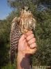 Smeriglio Falco columbarius