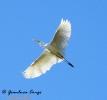 Airone bianco maggiore Casmerodius albus