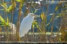 Airone guardabuoi Bubulcus ibis